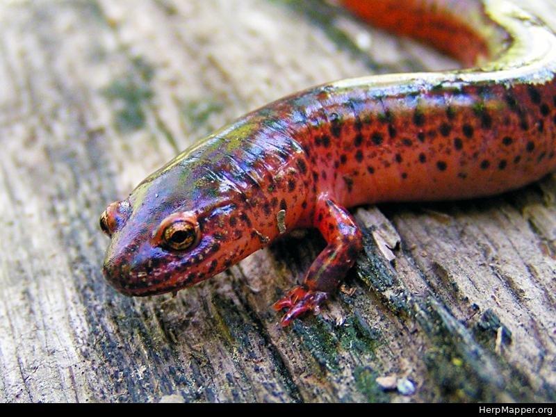 Baby red salamander