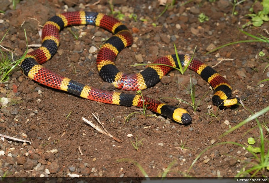 Costa Rican Coral Snake (Micrurus mosquitensis) - HM 246278